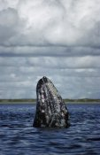 Tui De Roy - Gray Whale spy-hopping in breeding lagoon, Baja California, Mexico