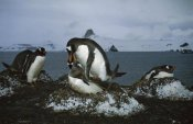 Tui De Roy - Gentoo Penguin pair mating on nest, Aitcho Island, Antarctica