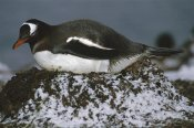 Tui De Roy - Gentoo Penguin adult incubating on pebble nest, Aitcho Island, Antarctica