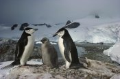Tui De Roy - Chinstrap Penguin pair with chick, Paradise Bay, Antarctic Peninsula, Antarctica