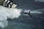 Tui De Roy - Adelie Penguin leaping off ice edge in fog, Possession Island, Ross Sea, Antarctica