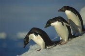 Tui De Roy - Adelie Penguin commuting to sea over ice apron, Cape Hallet, Ross Sea, Antarctica