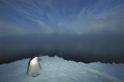 Tui De Roy - Adelie Penguin portrait on ice apron, Cape Hallet, Ross Sea, Antarctica