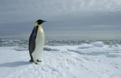 Tui De Roy - Emperor Penguin on fast ice edge, Princess Martha Coast, Weddell Sea, Antarctica