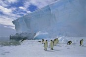 Tui De Roy - Emperor Penguins commuting to nesting colony, Ekstrom Ice Shelf,  Antarctica