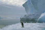 Tui De Roy - Emperor Penguin walking across ice, Ekstrom Ice Shelf, Weddell Sea, Antarctica