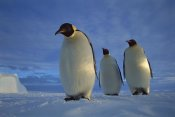 Tui De Roy - Emperor Penguin trio on sea ice in midnight twilight, Ekstrom Ice Shelf, Antarctica