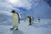Tui De Roy - Emperor Penguin crossing sea ice to colony, Ekstrom Ice Shelf, Antarctica