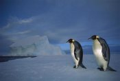 Tui De Roy - Emperor Penguin pair on sea ice in midnight twilight, Ekstrom Ice Shelf, Antarctica