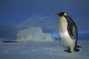 Tui De Roy - Emperor Penguin on sea ice in midnight twilight, Ekstrom Ice Shelf,  Antarctica