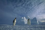 Tui De Roy - Emperor Penguin pair, Ekstrom Ice Shelf, Weddell Sea, Antarctica