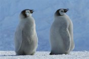 Tui De Roy - Emperor Penguin chicks panting, Riiser-Larsen Ice Shelf,  Antarctica
