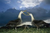 Tui De Roy - Waved Albatross courtship dance, Espanola Island, Galapagos Islands, Ecuador