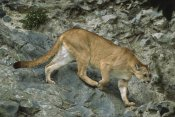 Tui De Roy - Mountain Lion crossing rocky terrain