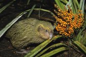 Tui De Roy - Kakapo flightless feeding on Astelia berries, Codfish Island, New Zealand