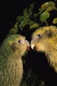 Tui De Roy - Kakapo pair playing, Codfish Island, New Zealand