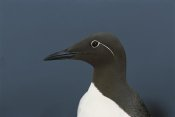 Tui De Roy - Common Murre, Shetland Islands, Scotland