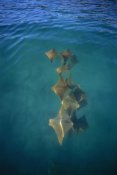 Tui De Roy - Golden Cownose Rays schooling in quiet lagoon, Galapagos Islands, Ecuador