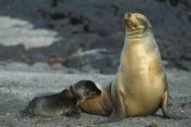 Tui De Roy - Galapagos Sea Lion mother nursing newborn pup, Galapagos Islands, Ecuador