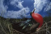 Tui De Roy - Great Frigatebird male in courtship display, Galapagos Islands, Ecuador