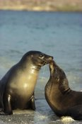 Tui De Roy - Galapagos Sea Lion juvenile bulls greeting, Galapagos Islands