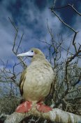 Tui De Roy - Red-footed Booby in Palo Santo Tree, Galapagos Islands, Ecuador