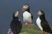 Tui De Roy - Atlantic Puffin group courting , Shetland Islands, Scotland