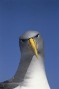 Tui De Roy - Chatham Albatross portrait, The Pyramid, Chatham Islands