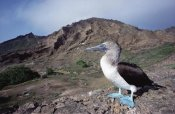 Tui De Roy - Blue-footed Booby in rocky landscape, Galapagos Islands, Ecuador