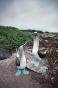Tui De Roy - Blue-footed Booby pair courting, Galapagos Islands, Ecuador