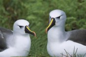 Tui De Roy - Yellow-nosed Albatross pair, Gough Island, South Atlantic