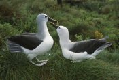 Tui De Roy - Yellow-nosed Albatross courting, Gough Island, South Atlantic