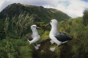 Tui De Roy - Yellow-nosed Albatrosses in ferns and Island Cape Myrtle , Gough Island
