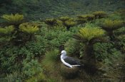 Tui De Roy - Yellow-nosed Albatross nesting, Gough Island, South Atlantic