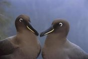 Tui De Roy - Sooty Albatross , Gough Island, South Atlantic