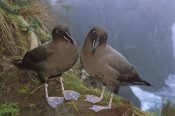Tui De Roy - Sooty Albatross pair on cliff edge, Gough Island, South Atlantic
