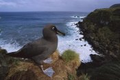 Tui De Roy - Sooty Albatross on cliff edge, Gough Island, South Atlantic