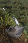 Tui De Roy - Sooty Albatross nesting on cliff edge, Gough Island, South Atlantic
