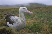Tui De Roy - Tristan Albatross female, Gough Island, South Atlantic