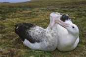 Tui De Roy - Tristan Albatross male nibbling females bill, Gough Island, South Atlantic