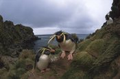 Tui De Roy - Rockhopper Penguin pair, Gough Island, South Atlantic