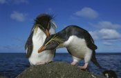 Tui De Roy - Rockhopper Penguin pair on rock, Nightingale Island, South Atlantic