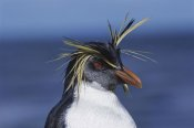 Tui De Roy - Rockhopper Penguin portrait, Nightingale Island, South Atlantic