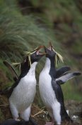 Tui De Roy - Rockhopper Penguin greeting display, Gough Island, South Atlantic