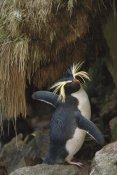 Tui De Roy - Rockhopper Penguin spreading its wings, Gough Island, South Atlantic