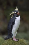 Tui De Roy - Rockhopper Penguin portrait, Gough Island, South Atlantic