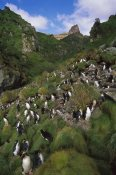 Tui De Roy - Rockhopper Penguin nesting colony, Gough Island, South Atlantic