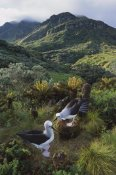 Tui De Roy - Yellow-nosed Albatross pair nesting, Gough Island, South Atlantic