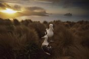 Tui De Roy - Southern Royal Albatross pair courting at sunset, Campbell Island, New Zealand