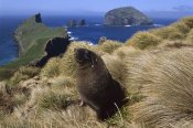 Tui De Roy - Hooker's Sea Lion bull searching for females hiding in grass, Auckland Islands